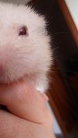 Ojos rojos en roedores, Desconocida