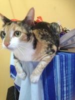 Orina demasiado frecuentemente en gatos, Normal no tiene raza