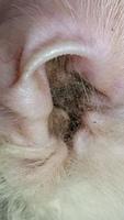 Secreción en los oídos en gatos, Persa