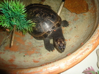Mal apetito en reptiles, Tortuga terrestre