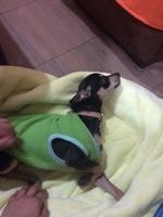 Clover, mi perro chihuahua cabeza de manzana macho, tiene dificultad al caminar o levantarse, desorientación y inclina la cabeza