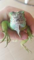 Dificultad al caminar o levantarse en reptiles, iguana verde