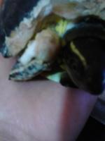 Tortuga, mi mascota es de agua con color amarillo y. egro es colombiana hembra, tiene pérdida de piel