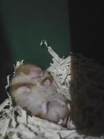 Ciruela, mi roedor hasmter sirio dorado hembra, tiene mucho moco en la nariz