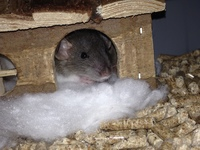 Sangrado de nariz en roedores, Rata domestica
