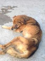 Dogui, mi perro es raza unica, no tiene raza definida macho, tiene dificultad al caminar o levantarse, jadeo, y desorientación