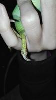 Dolor al contacto en reptiles, Iguana verde