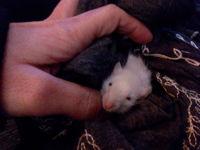 Hawking, mi roedor rata estándar macho, tiene respiración ruidosa