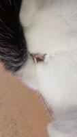 Milhouse, mi gato cruce de desconocida y desconocida hembra, tiene secreción en pene/vagina