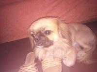 Ytam, mi perro cruce de shih tzu y pekinés macho, tiene respira con dificultad y respiración ruidosa