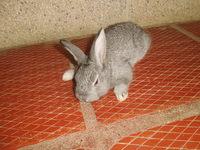 Dificultad al caminar o levantarse en roedores, Conejo