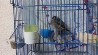Incontinencia en aves, Jilguero europeo