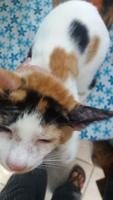 Uma, mi gato desconocida hembra, tiene mal apetito, vómito, y estreñimiento