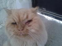 Nubes o película transparente blanca en los ojos en gatos, Angora turco