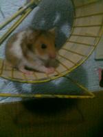 Estreñimiento en roedores, Hámster
