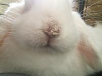 Cotton, mi mascota holland lop macho, tiene picor y rascarse