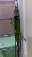 Mal apetito en reptiles, Iguana