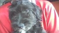Orina muy poco en perros, Perro de agua español