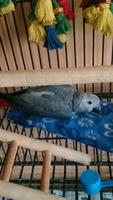 Incontinencia en aves, Loro gris