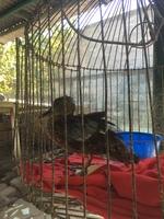 Dificultad al caminar o levantarse en aves, Pato