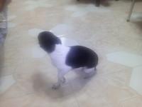 Desmayos en perros, Pinscher miniatura