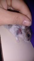 Mordeduras en roedores, Hámster ruso