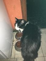 Flatulencia en gatos, Común europeo