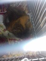 Sra. Jingles., mi mascota peruano hembra, tiene picor y rascarse