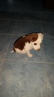 Candy, mi perro cruce de pit bull y desconocida hembra, tiene estreñimiento