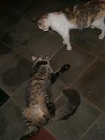 Tengo una duda sobre Loca, mi gato desconocida hembra