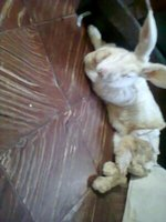 Dificultad al caminar o levantarse en roedores, coneja