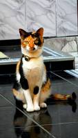 Toffee, mi gato cruce de americano de pelo corto y americano de pelo corto hembra, tiene dificultad al caminar o levantarse