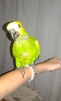 Respiración ruidosa en aves, amazona verde
