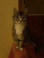 Vómito con sangre en gatos, Europeo de pelo corto