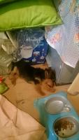 Chico, mi perro yorkshire terrier macho, tiene arcadas
