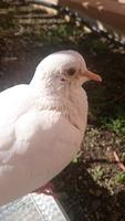 Piku, mi ave desconocida macho, tiene picor y rascarse, ojos amarillos, y pérdida de pelo