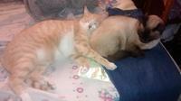 Orina en casa en gatos, Criollo
