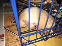 Alai, mi roedor hámster sirio o dorado hembra, tiene heridas, dolor al contacto y mordeduras