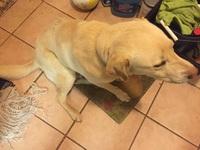 Sobreexcitado en perros, Labrador