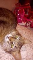 Flatulencia en gatos, Siberiano