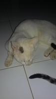 Secreción en los oídos en gatos, Desconocida