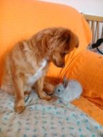 Orina en casa en perros, mestiza caniche-pequinés