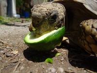 Mucho moco en la nariz en reptiles, tortuga terrestre
