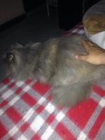 Secreción en los oídos en gatos, Persa tradicional