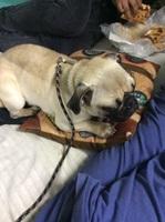 Facundo, mi perro pug macho, tiene mal apetito
