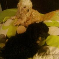 Orina en casa en perros, castellano
