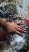 Hinchazón testicular en gatos, Abisinio
