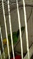 Respiración ruidosa en aves, Loro de cabeza amarilla