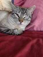 Sobreexcitado en gatos, Desconocida