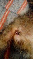 Fluido vaginal en gatos, Desconocida